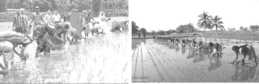 4.rice transplantation l