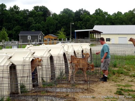 calves fed from bottlle