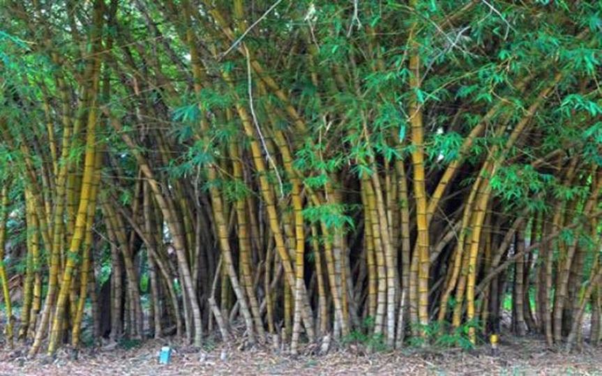 bamboo champ